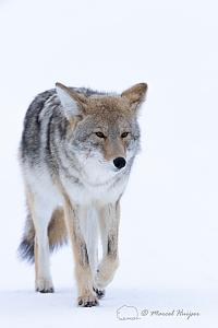 _DSC8094 Coyote (Canis latrans) in the snow, Yellowstone National Park, Wyoming, USA-2.jpg