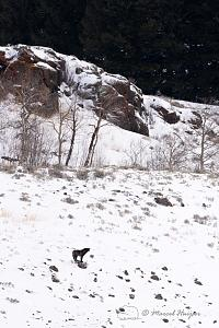 _DSC7748 Lost black wolf (member of the Junction Butte pack) howling to make contact with the re.jpg