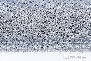 _DSC3189 Snow geese (Chen caerulescens) migration, Montana, USA-2.jpg