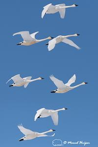 _DSC2407 Tundra swan (Cygnus columbianus) migration, Montana, USA-2.jpg