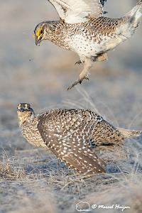 _DSC4798 Sharp-tailed grouse (Tympanuchus phasianellus) fighting, Montana, USA_-2.jpg