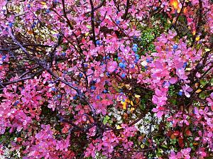Blueberries! Denali Hwy.jpg