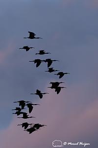_DSC2226 White-faced ibis (Plegadis chihi)  Centennial Valley, Montana, USA-2.jpg
