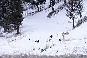 _DSC8312 Wolves, Wapiti Pack resting after killing and eating-2.jpg