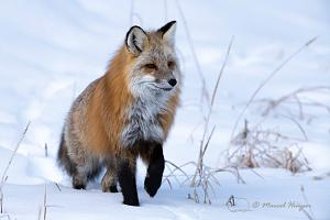 _DSC7103 Red fox (Vulpes vulpes), Wyoming, USA-2.jpg