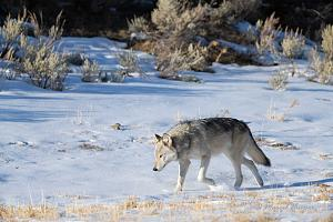 _DSC7328 Gray wolf, near Soda Butte, Yellowstone National Park, Wyoming, USA-2.jpg