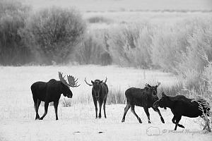 _DSC7592 American moose (Alces americanus) bulls and a cow, Wyoming, USA-2.jpg