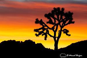 _DSC5089 Joshua trees (Yucca brevifolia) at sunset, Joshua Tree National Park, California-2.jpg