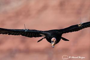 _DSC1719 California condor (Gymnogyps californianus), Arizona, USA-2.jpg
