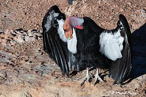 _DSC1053 California condor (Gymnogyps californianus), Arizona, USA-2.jpg