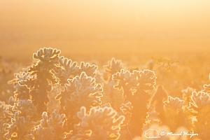 _DSC5178 Cholla cactus patch at sunrise, Joshua Tree National Park, California-2.jpg