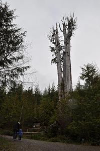 2010.02.06 Olympics & Lake Quinault 08 Duncan Cedar (favorite).JPG