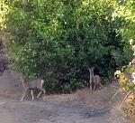 Early Sept was archery season for Rocky Mountain Mule Deer and Elk.   Muleys, like these on Tarpiscan Rd, were around, but didn't catch site of any...
