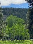 Aspen grove on Fish Lake road