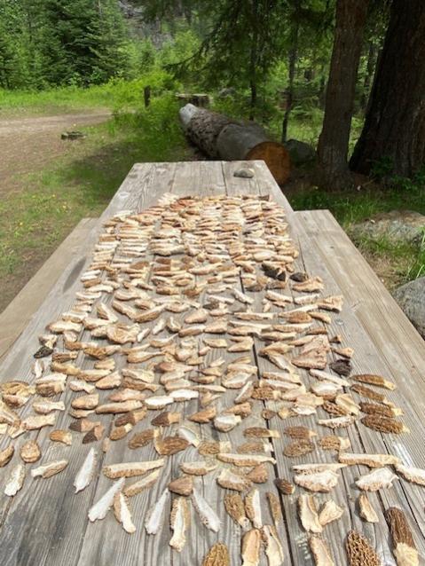 Morrel mushrooms drying