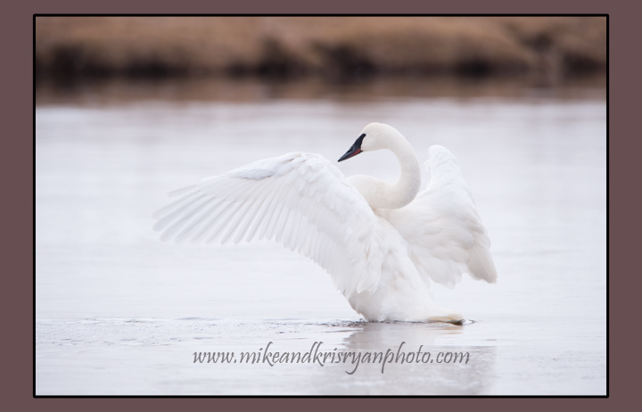 Trumpeter Swan, Madison River, Yellowstone National Park
