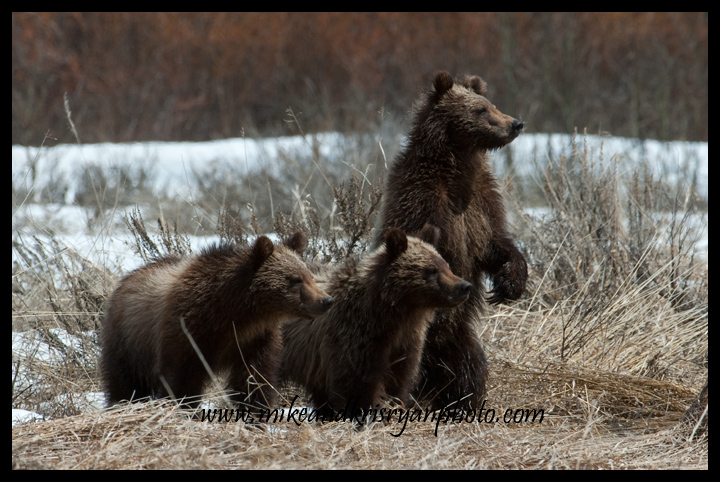 Bear 610's cubs, Willow Flats, Grand Teton National Park
