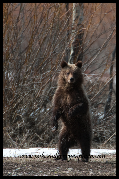 One of Bear 610's cubs, Willow Flats, Tetons