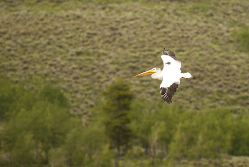 Pelican over the Oxbow, Tetons