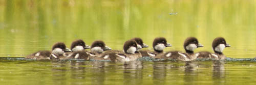 8 Ducklings on Two Ocean Lake, Tetons