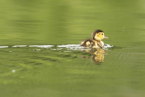 Duckling on Two Ocean Lake, Grand Teton National Park