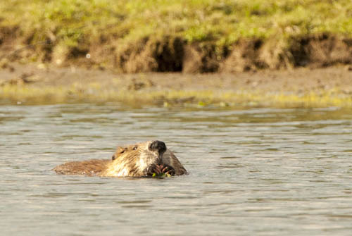 Beaver on the Snake River, Tetons.