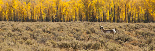 Antelope and fall Cottonwoods, Grand Teton National Park