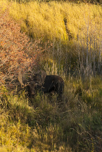 Bull Moose hanging out just outside of Moose, WY, Tetons,