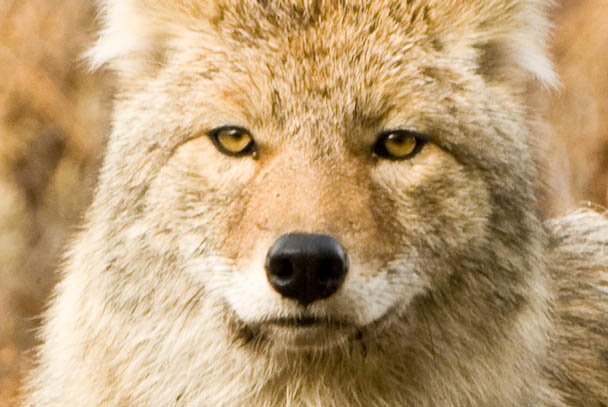 Close up of a coyote, Yellowstone