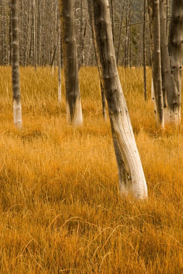 Bobby Sock trees, Yellowstone