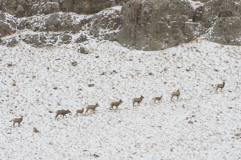 Big Horn Sheep on Miller Butte, Elk Reserve, Jackson, WY