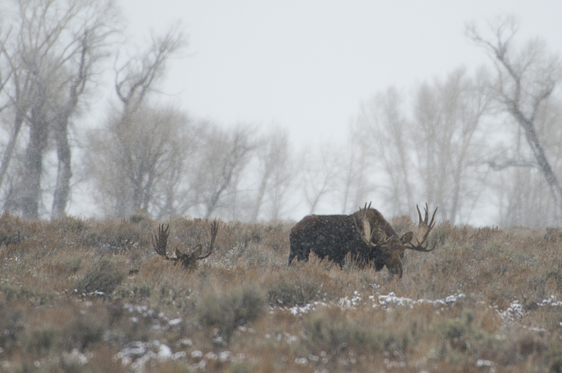 Two Bull Moose hanging out near Ditch Creek, Antelope Flats, Grand Teton National Park.