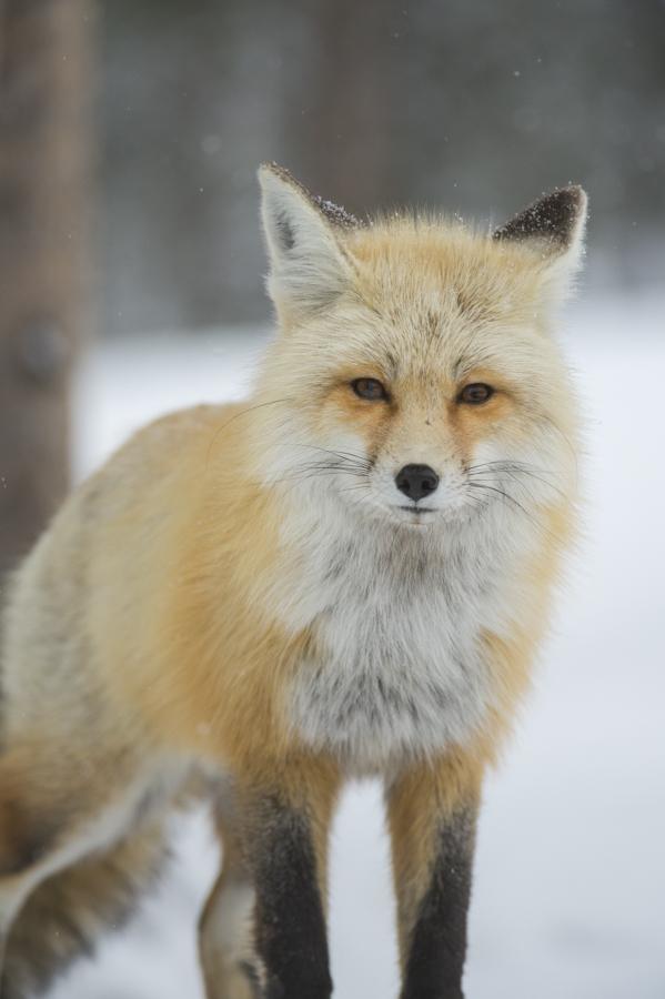 Red Fox, Colter Bay, Grand Teton National Park