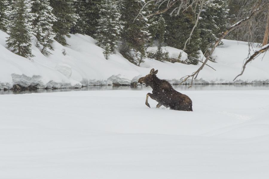 Struggling in the snow along the Snake River, Grand Teton National Park.