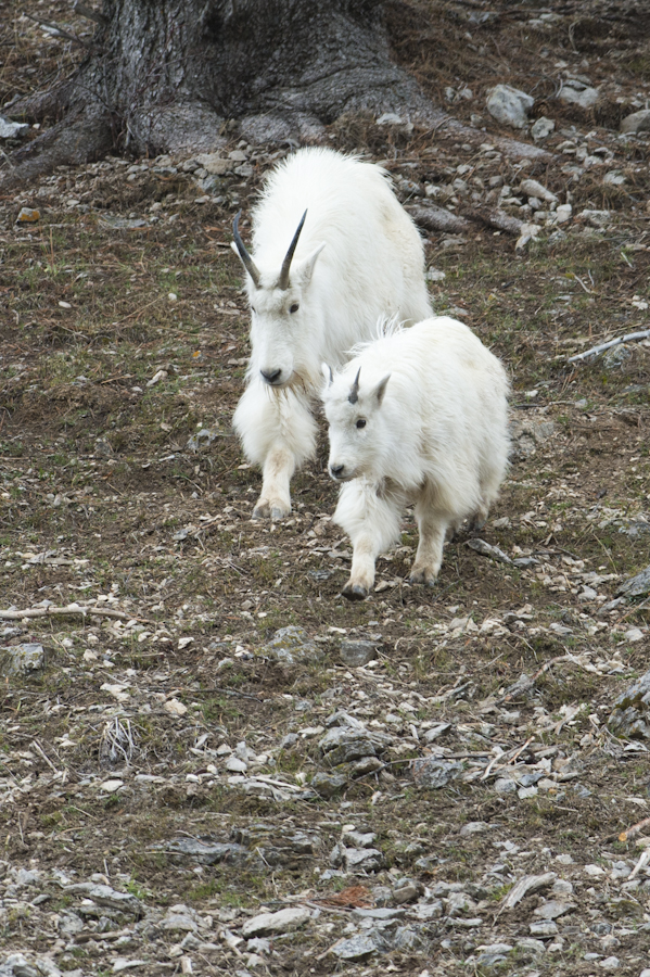 Momma and baby, north of Alpine, WY