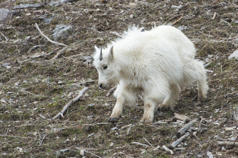 Mountain Goat kid, north of Alpine, WY