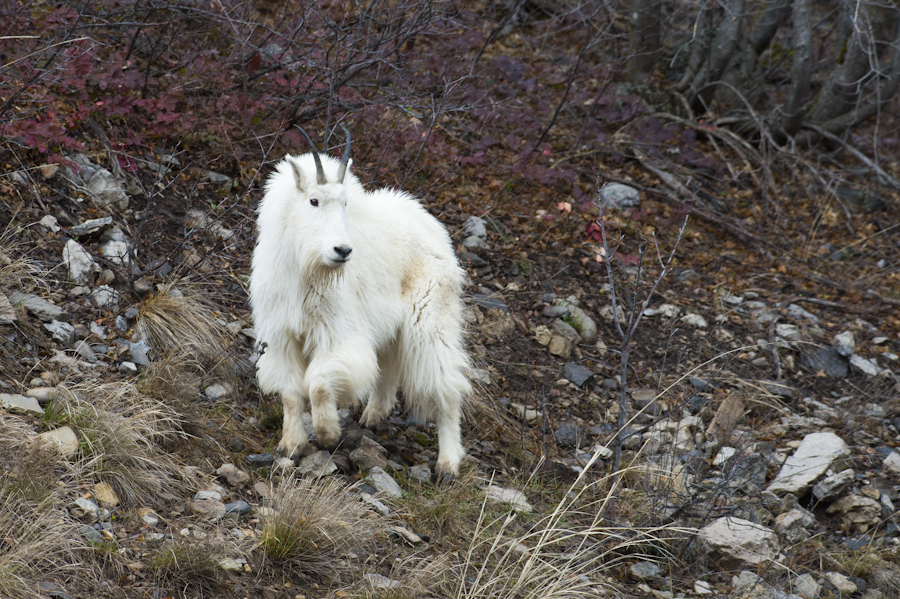 Mountain Goat, north of Alpine, WY