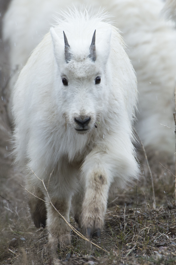 Mountain Goat kid, north of Alpine, WY