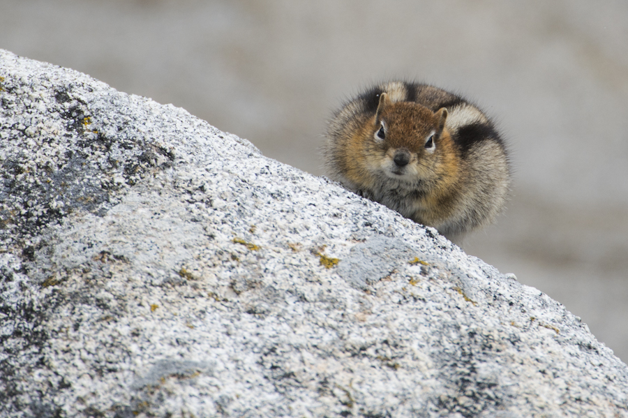Fat chipmunk at the City of Rocks, Almo, ID