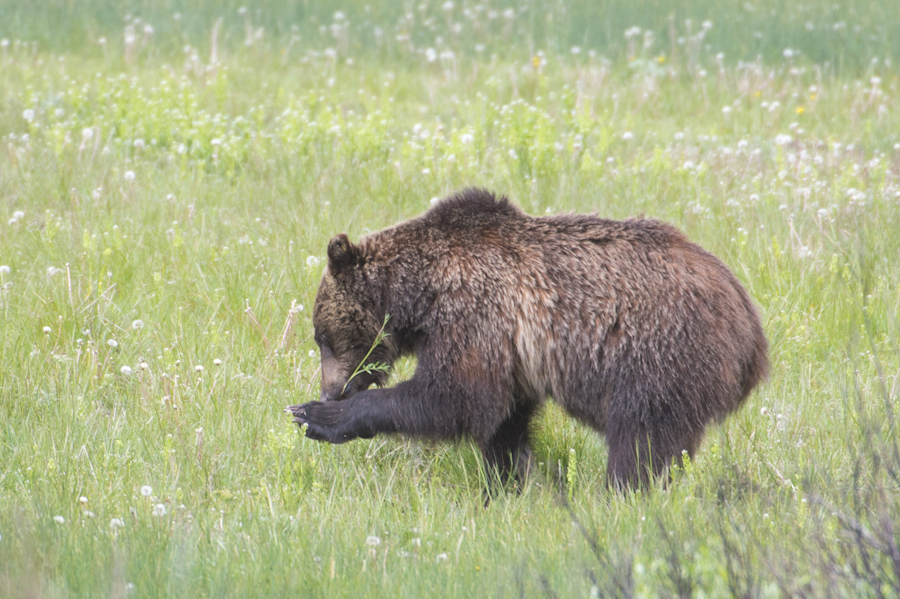 Grizzly in the Tetons.