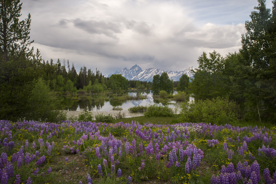 Lupine and pond along Pilgrim Creek in Grand Teton National Park.