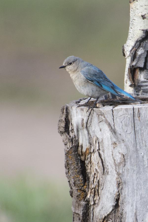 Mountain Blue Bird at Shadow Mountain boondocking site.