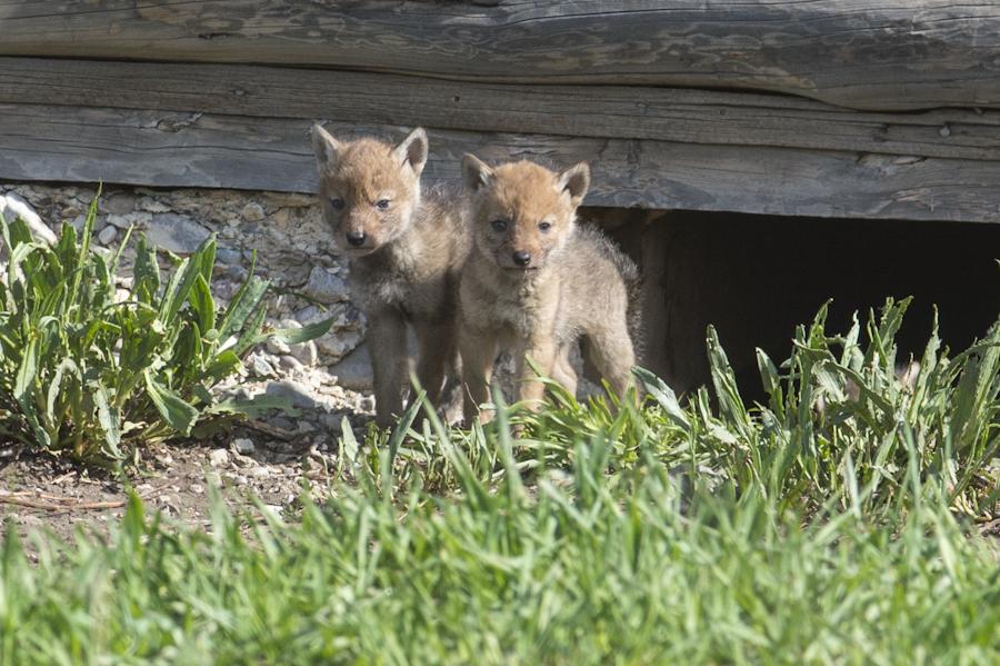 Coyote pups at Mormon Row along Antelope Flats Road, Grand Teton National Park.