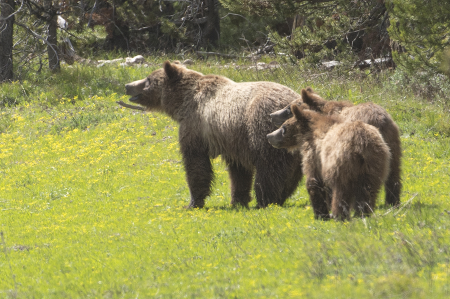 Momma and her cubs in the Tetons.