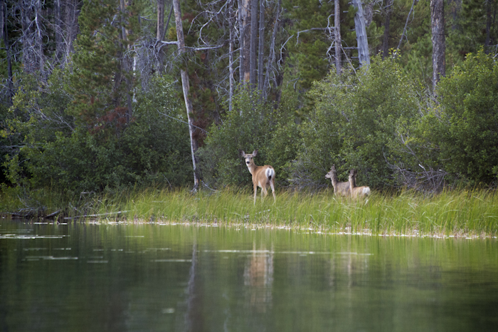 Momma and twins out for a  stroll in the evening along Little Redfish Lake, Stanley, ID