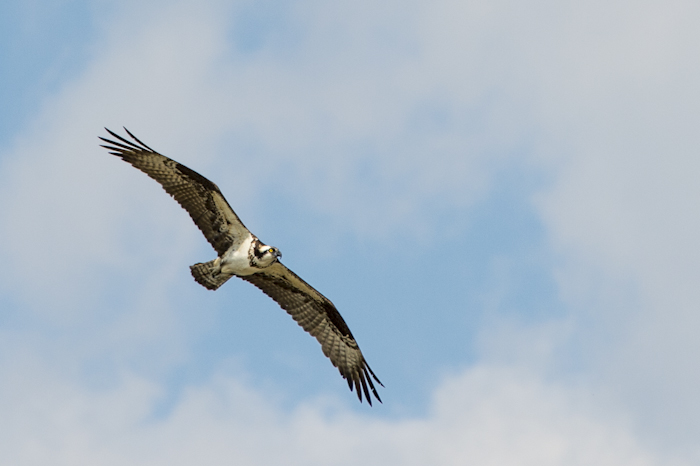 Osprey in flight over Little Redfish Lake, Stanley, ID
