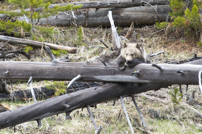 Grizzly bear cub resting near the Gibbon River, Yellowstone National Park