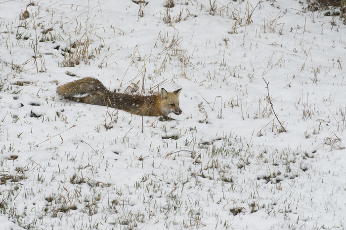 A fox stretching and cooling off in Yellowstone