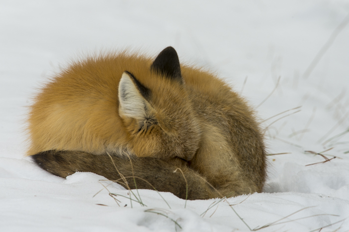 All curled up and sleeping, Colter Bay, Grand Teton National Park