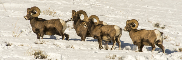Big Horn Sheep in the Lamar Valley